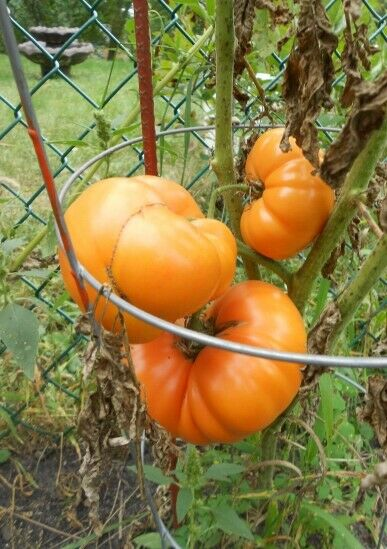 "3 Live 3 - 6"" inch Seedlings Kellogg's Breakfast Tomato Beautiful Orange Color"