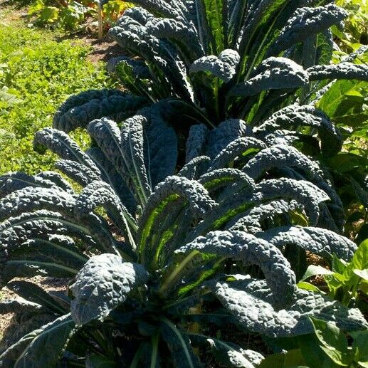 "3 Live 3 - 6"" inch Seedlings Lacinato KALE Dinosaur Black Tuscany Beautiful"