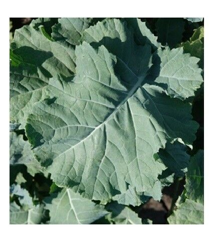"3 Live 3 - 6"" inch Seedlings PREMIER KALE Compact Vigorous Leaves up to 1' long"