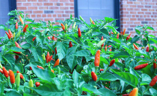 "3 Live 3 - 6"" inch Seedlings Tabasco Hot Pepper Make your own Sauce! Colorful"
