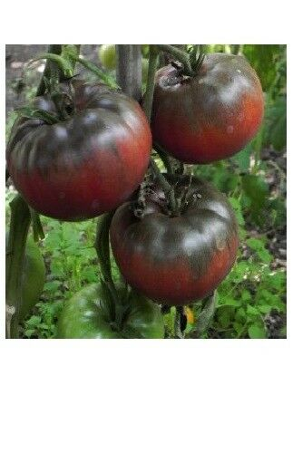 "3 Live 4 - 6"" inch Seedlings Black From Tula Tomato Heirloom Rare purple Russian"