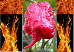 "3 Live 4 - 7"" inch Seedlings Carolina Reaper Hottest Chili Pepper on Earth!"