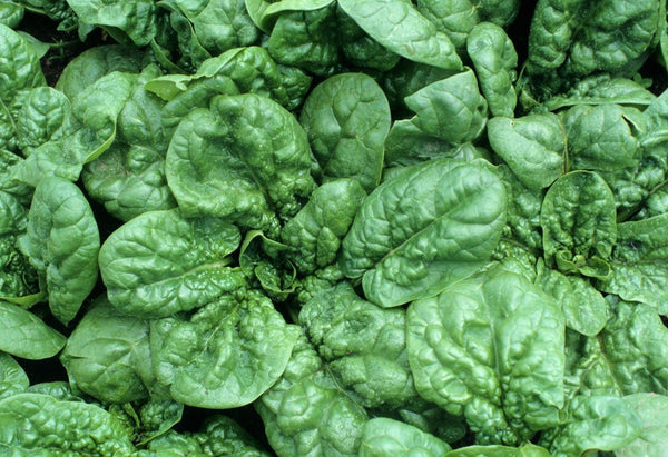 30 Bloomsdale Spinach Longstanding Vegetable Garden Seeds Heirloom Non-GMO