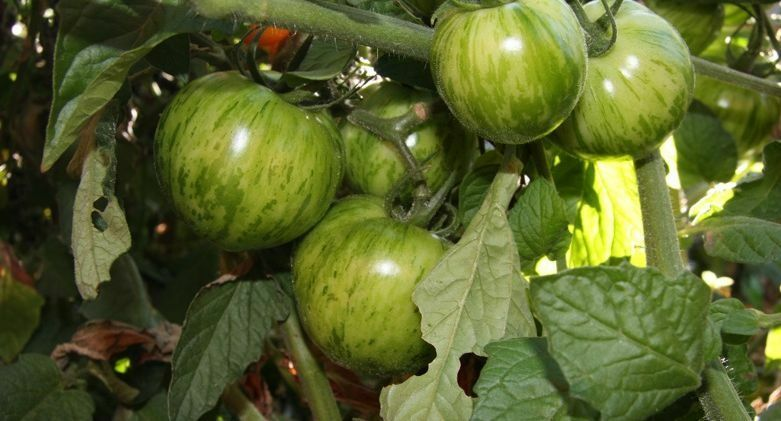30 seeds GREEN ZEBRA Tomato Heirloom Delicious Unique color Fresh Beautiful