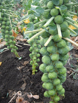 300 Seeds BRUSSELS Sprouts Long Island Improved Healthy Cold Hardy! Prolific