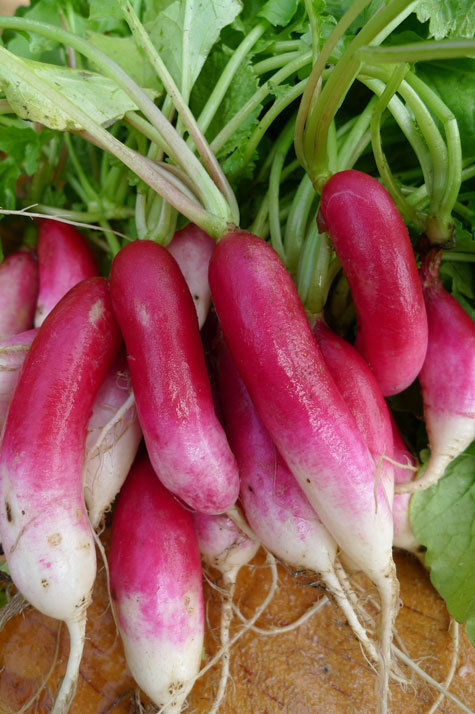 50 Seeds French Breakfast Radish Heirloom long delicious garden only 30 days!