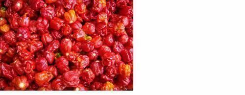 500 Seeds Trinidad Scorpion BUTCH T Worlds Hottest! WHOLESALE PRICE RARE Pepper