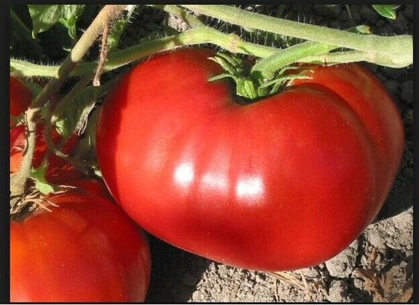 "6 Live 3 - 6"" inch Seedlings GIANT Delicious Tomato WORLD RECORD 7 LBS 12 OZ!"