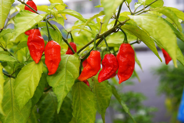 500 Red Bhut Jolokia Seeds Ghost Pepper Naga Jolokia HOT Chilli 900K-1.1M+ SHUS