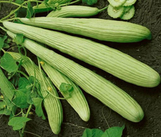 Armenian Yard-Long Cucumber 30 - 500 Seeds Snake Melon Burpless Heirloom Rare