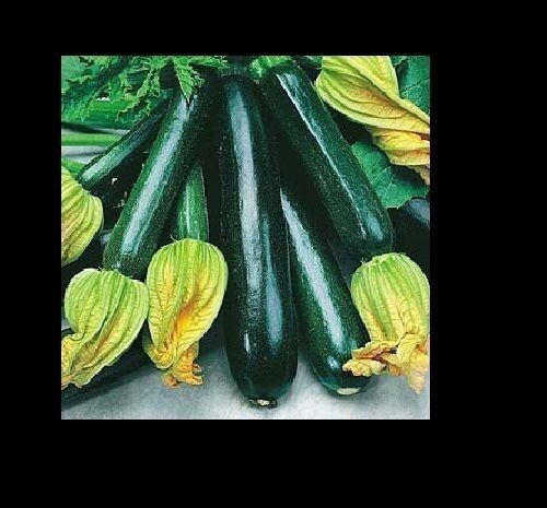 Black Beauty Zucchini Summer Squash 20 Seeds Heirloom Prolific Spineless Green