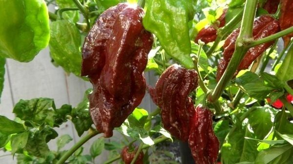 Black Naga Morich 15 Seeds Heirloom Hot Chocolate chili pepper extreme Rare