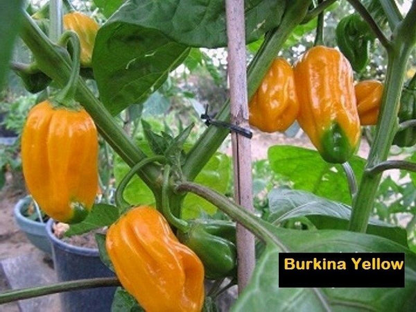 Burkina Yellow Pepper 15 Seeds Hot Chili African strain of Scotch Bonnet RARE