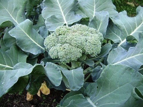 CALABRESE Broccoli 500 SEEDS Green sprouting Heirloom Delicious Non-GMO Brassica
