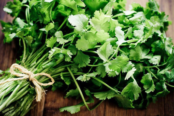 CILANTRO Coriander Seeds Microgreens Leisure Chinese Parsley Bulk Herbs Healthy