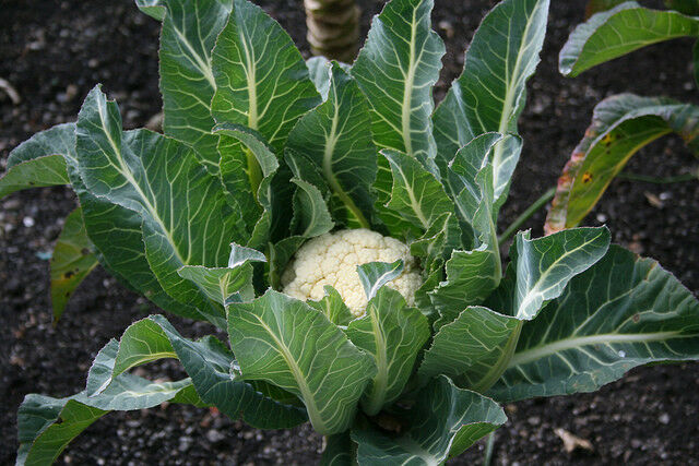 Cauliflower 250 - 1 Lb Seeds Snowball Y Improved Heirloom Garden vegetable White