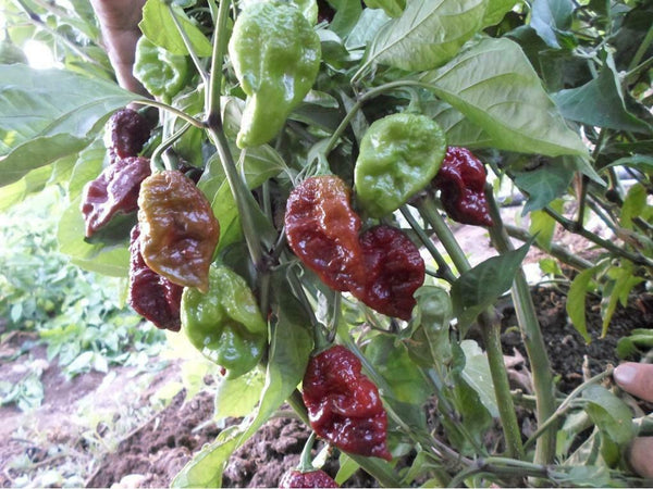 Chocolate Drop Hot Pepper 15 Seeds Brain Strain x Chocolate Ghost pepper Rare!