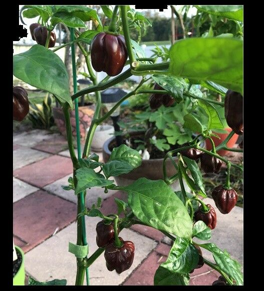 Chocolate Scotch Bonnet 20 Seeds Jamaican Hot Pepper Heirloom Rare Fresh