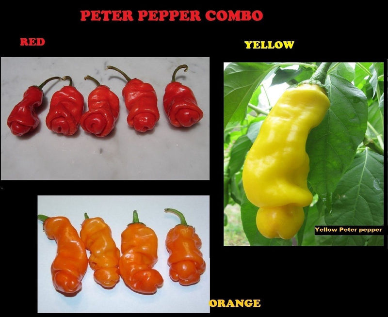 Combo 10 seeds Each Peter Pepper RED YELLOW ORANGE Hot XXX RARE hilarious gift!