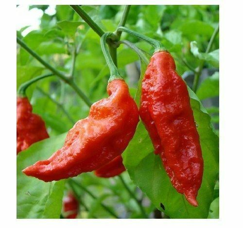 Combo Pack 25 Red Ghost pepper Bhut Jolokia 15 YELLOW & 15 CHOCOLATE Fresh Seeds