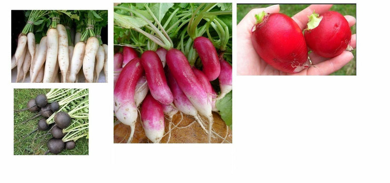 Combo Radish Seeds French Breakfast, Spanish Round, White Icicle, German Giant