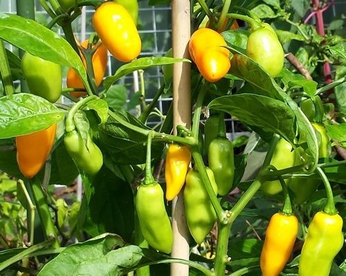 Datil Yellow 15 Seeds SuperHot chili pepper aromatic Heirloom extreme Rare Sauce