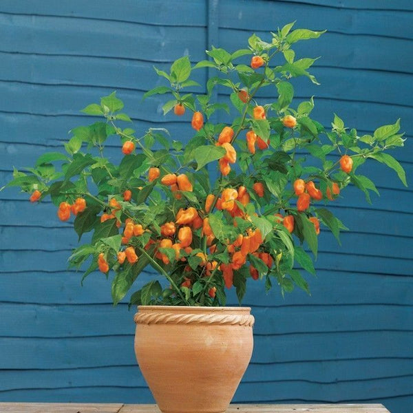FATALII HOT PEPPER 15 SEEDS Heirloom Non-Gmo 95%+ Germination Capsicum Chinese