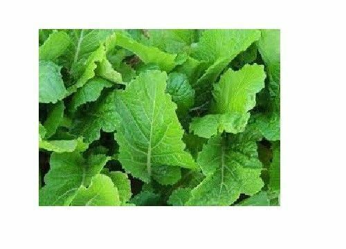Florida Broadleaf Mustard 450 - 50,000 Seeds Heirloom Southern India Huge Leaves