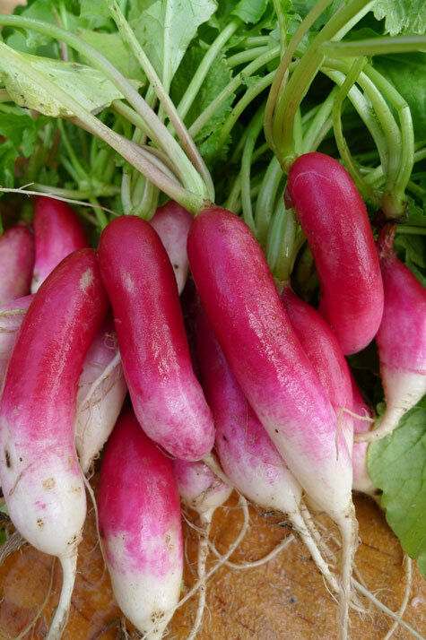 French Breakfast Radish Heirloom Seeds long delicious garden 30 days easy 2 gro!