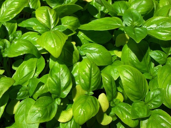 Genovese Basil Fresh 150 Seeds Heirloom culinary Herb plant garden great 4 Pesto