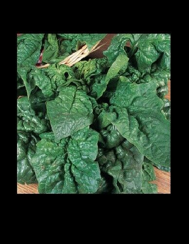 Giant Noble Spinach Seeds 100, 200, 600 seeds Huge Leaves! Heirloom NON-GMO Big