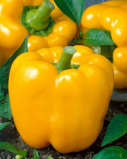 Golden California Wonder Bell Pepper 20 - 16,000 Seeds Sweet Bulk Yellow Rare