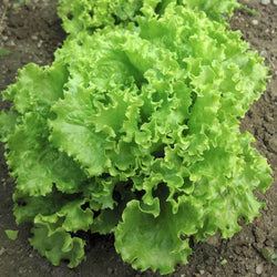 Green Salad Bowl Loose Leaf Lettuce 600 - 16,000 Seeds AAS Heirloom Improved