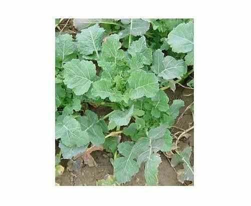 IMPROVED SIBERIAN KALE SEEDS HEIRLOOM Garden Vegetable Greens Non-GMO Healthy