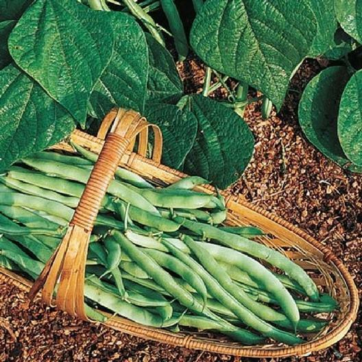 Kentucky Wonder Bush Green Beans 12 Seeds Heirloom Fun to grow!
