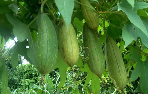 LUFFA SPONGE 10-100 SEEDS Gourd Loofah Dishcloth Very Productive Mướp Heirloom