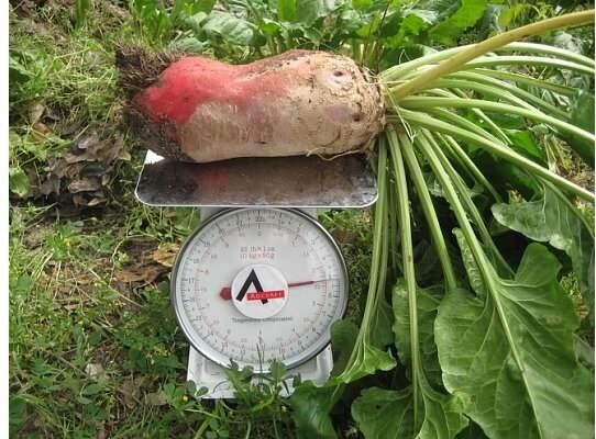 Mammoth Red Mangle beet 25-3200 Seeds Giant up to 25 POUNDS! Heirloom non-GMO