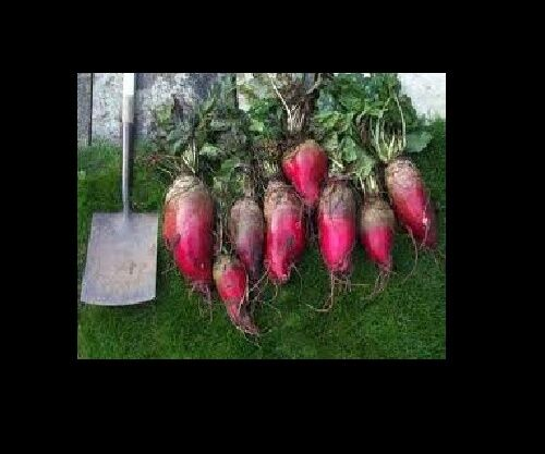 Mammoth Red Mangle beet 25 Seeds Giant up to 25 POUNDS! Heirloom non-GMO Huge