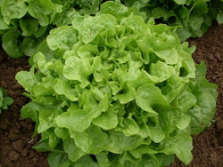 Oak Leaf Lettuce (Oakleaf) GREEN 500,1000, 5000 seeds Loose leaf Heirloom No GMO