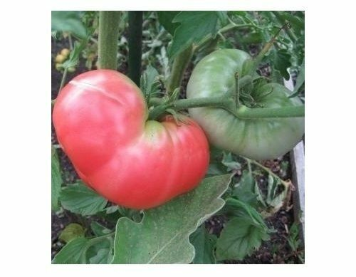Ponderosa Pink Tomato 30 Seeds Beefsteak Heirloom Large Healthy Fruit Non-GMO