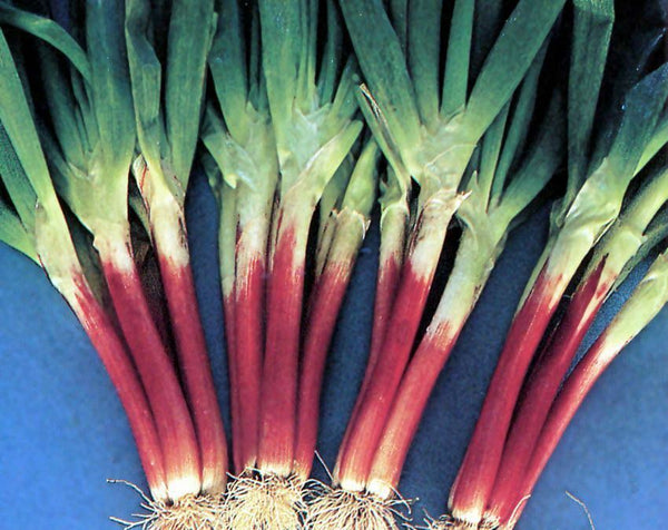 Red Beard Japanese Bunching Onion seeds Rare Delicious violet stalk scallion