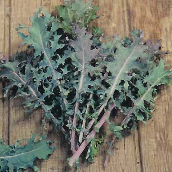 Red Russian Kale (200 - 30K) Seeds Very Tender Fresh Greens Hardy Large Leaves!