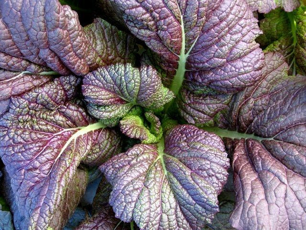 Select Quantity: Red Giant Mustard (Chinese) Fresh Seeds Heirloom salads Greens