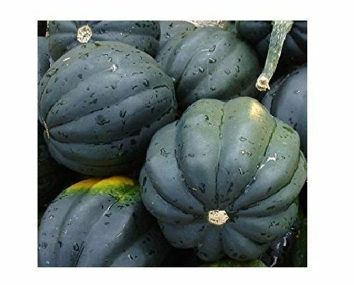 Table Queen Acorn Squash 10 Seeds Bush Winter Heirloom Beautiful Fruit Garden