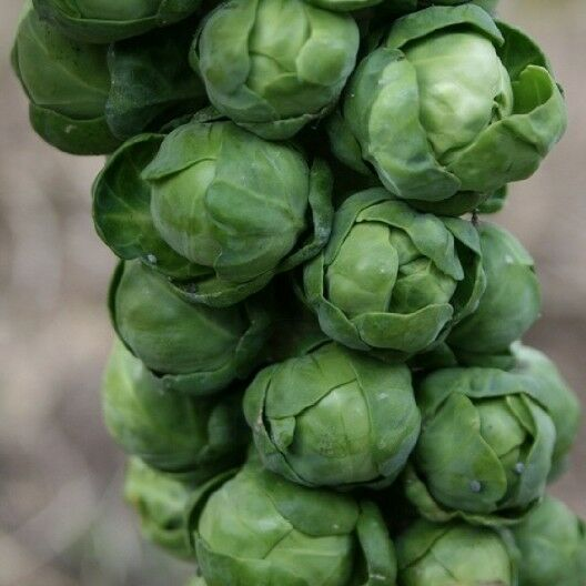 BRUSSELS Sprouts Long Island Improved 500 - 168K/1 LB Seeds Healthy Cold Hardy!