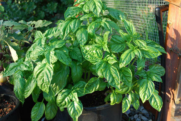 Basil Large Leaf Italian 500 - 32,000 Seeds Heirloom Non GMO healthy plant fresh
