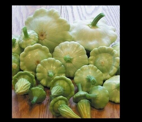 Bennings Green Tint Summer Squash 10 - 100 Seeds Patty Pan Prolific Scallop