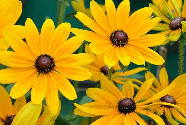 Black Eyed Susan 1000 - 160K Seeds Rudbeckia Hirta Yellow Wildflower Beautiful