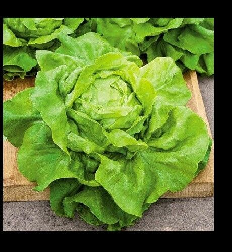 Buttercrunch Leaf LETTUCE 1000 - 8000 Seeds Butterhead tender Fall Iron Bulk