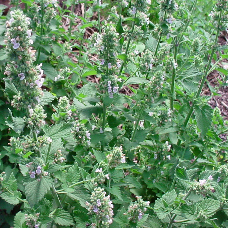 Catnip Seeds heirloom Non GMO cat party supplies 300 -160K seeds Bulk herb